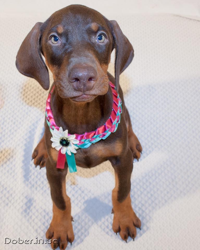 щенок добермана девочка 1,5 месяцев
