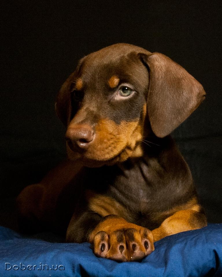 щенок добермана коричневый